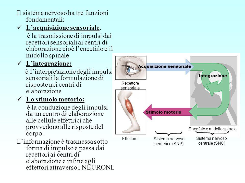 Il sistema nervoso ha tre funzioni fondamentali: Lacquisizione sensoriale: è la trasmissione di impulsi dai recettori sensoriali ai centri di elaboraz
