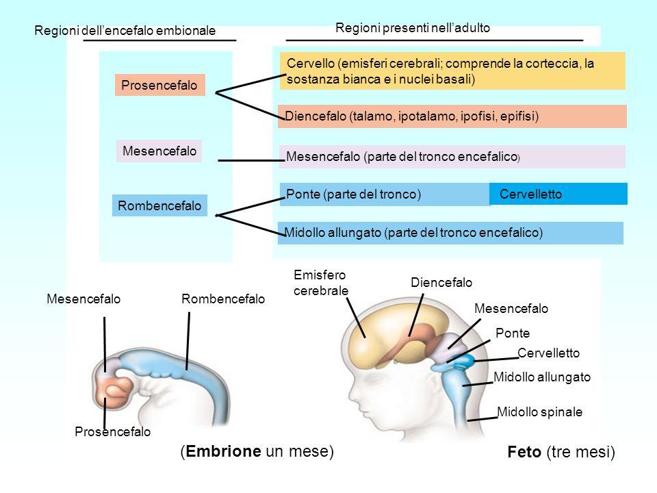 Regioni dellencefalo embionale Regioni presenti nelladulto Prosencefalo Mesencefalo Rombencefalo MesencefaloRombencefalo Prosencefalo Cervello (emisfe