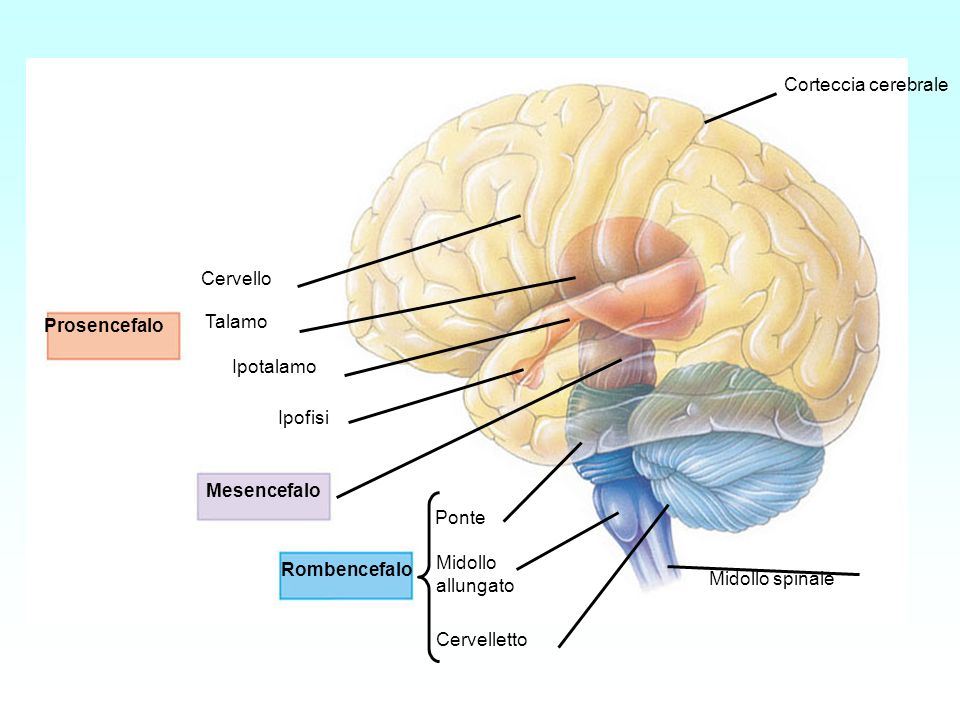 Prosencefalo Mesencefalo Rombencefalo Cervello Talamo Ipotalamo Ipofisi Ponte Midollo allungato Cervelletto Corteccia cerebrale Midollo spinale