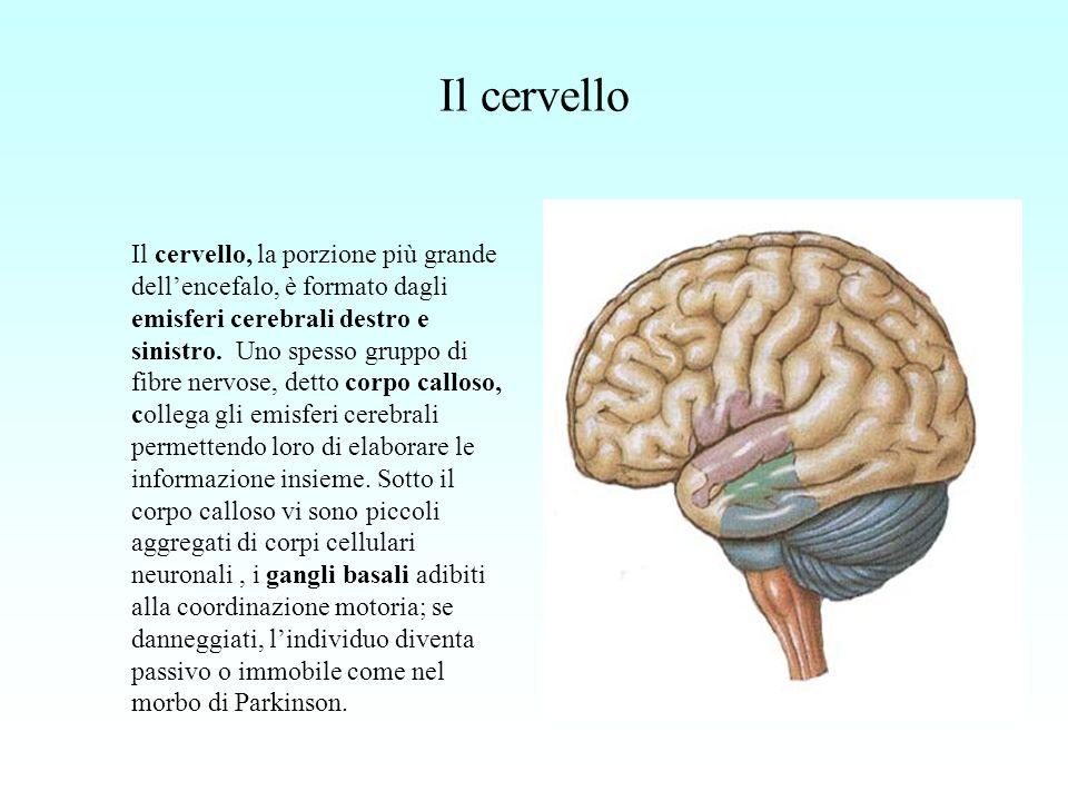 Il cervello Il cervello, la porzione più grande dellencefalo, è formato dagli emisferi cerebrali destro e sinistro. Uno spesso gruppo di fibre nervose