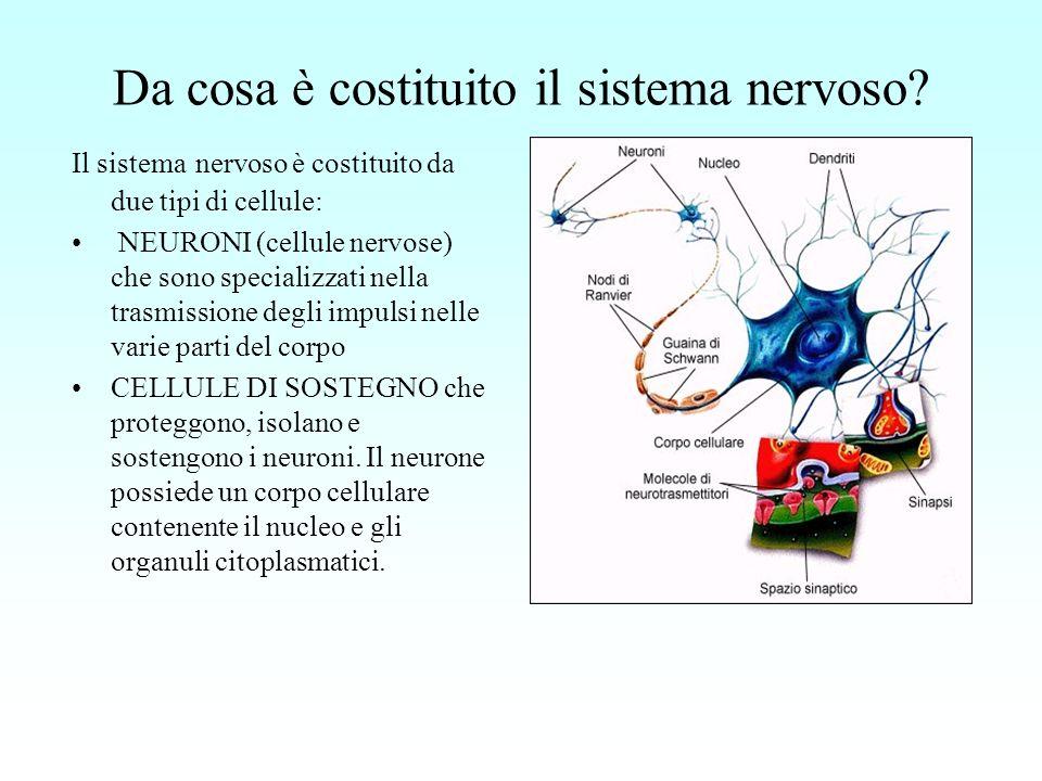 Da cosa è costituito il sistema nervoso? Il sistema nervoso è costituito da due tipi di cellule: NEURONI (cellule nervose) che sono specializzati nell