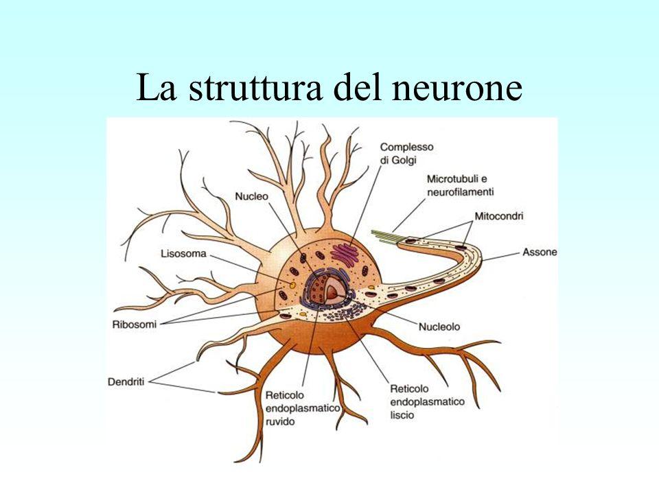 Dal corpo cellulare si diramano due tipi di fibre: Fibre del primo tipo dette DENDRITI, che trasmettono i messaggi provenienti da una cellula sensoriale o da un neurone vicino dalla loro estremità verso linterno del neurone.