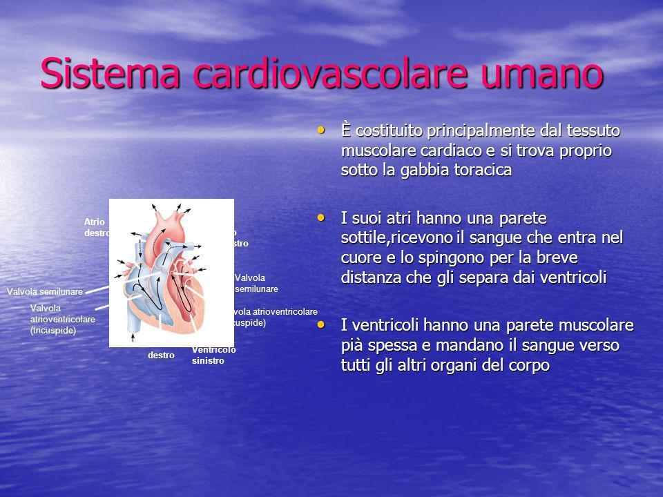 Sistema cardiovascolare umano È costituito principalmente dal tessuto muscolare cardiaco e si trova proprio sotto la gabbia toracica È costituito prin