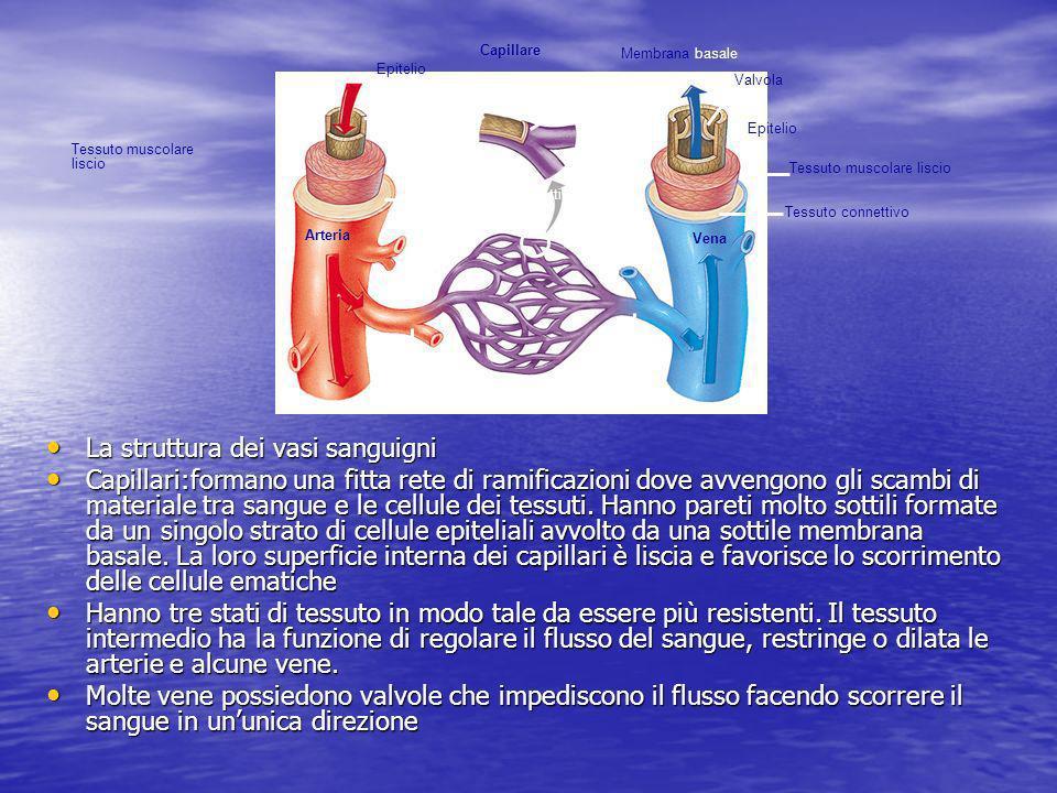 La struttura dei vasi sanguigni La struttura dei vasi sanguigni Capillari:formano una fitta rete di ramificazioni dove avvengono gli scambi di materia