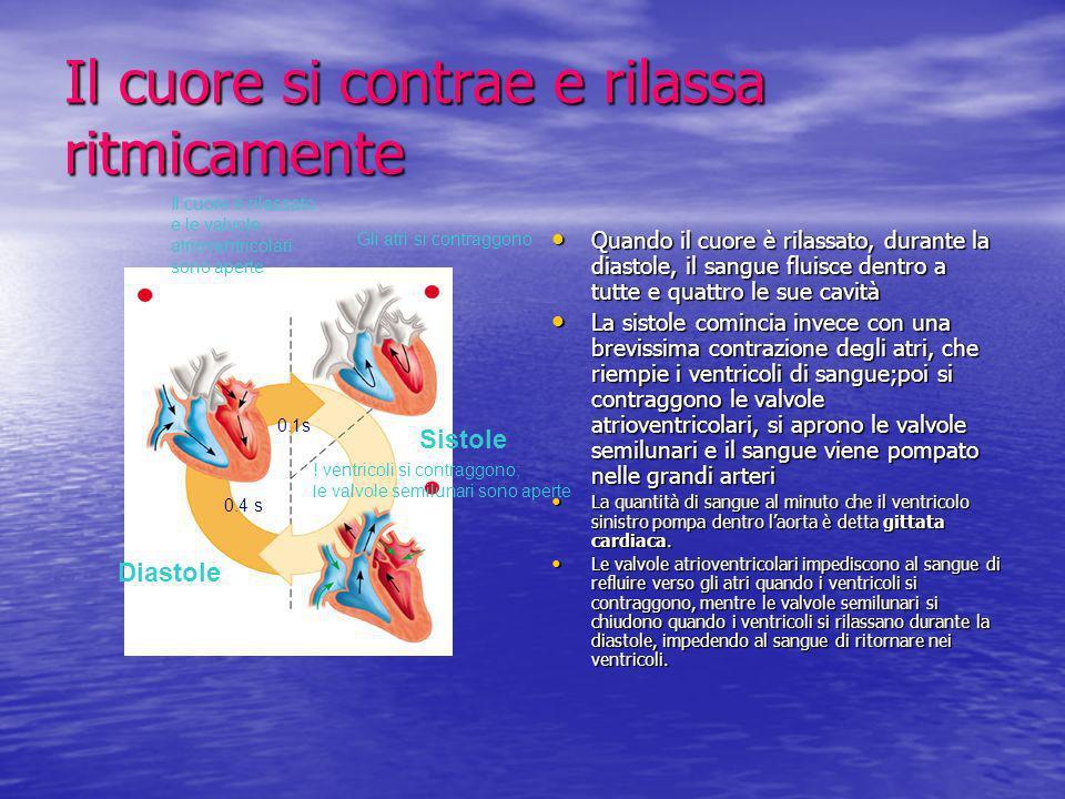 Il cuore si contrae e rilassa ritmicamente Quando il cuore è rilassato, durante la diastole, il sangue fluisce dentro a tutte e quattro le sue cavità