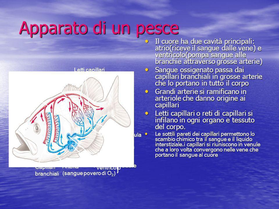 Apparato di un pesce Il cuore ha due cavità principali: atrio(riceve il sangue dalle vene) e ventricolo(pompa sangue alle branchie attraverso grosse a