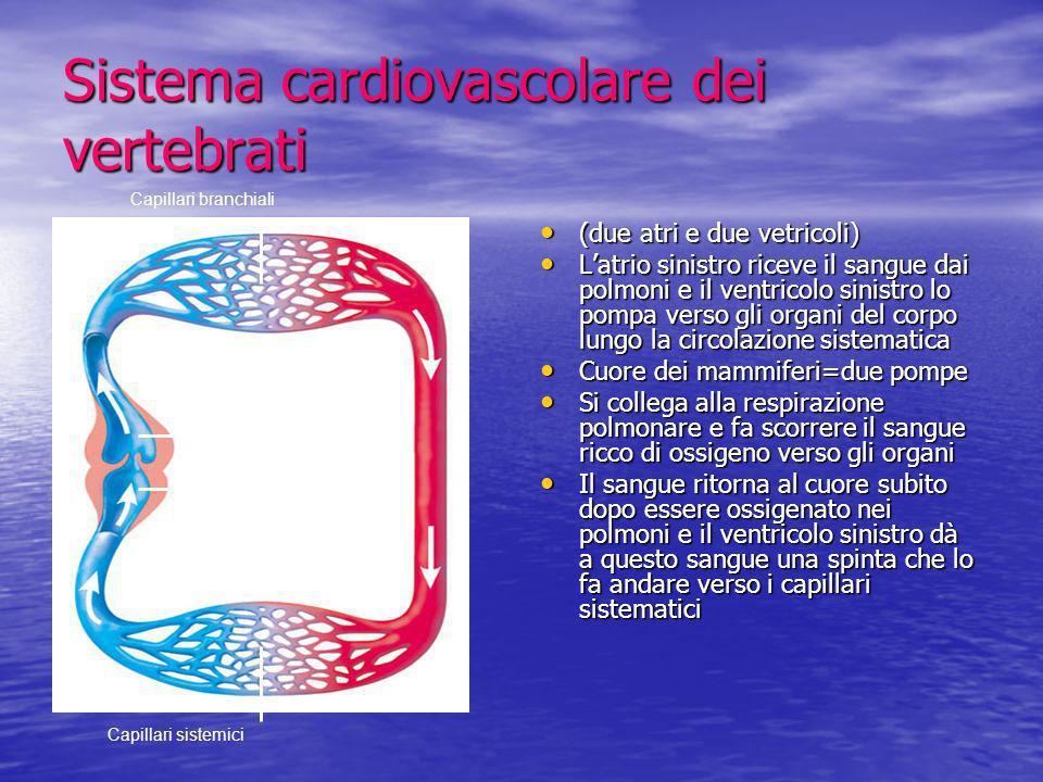 Sistema cardiovascolare dei vertebrati (due atri e due vetricoli) (due atri e due vetricoli) Latrio sinistro riceve il sangue dai polmoni e il ventric