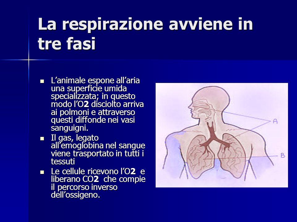 La respirazione avviene in tre fasi Lanimale espone allaria una superficie umida specializzata; in questo modo lO2 disciolto arriva ai polmoni e attraverso questi diffonde nei vasi sanguigni.