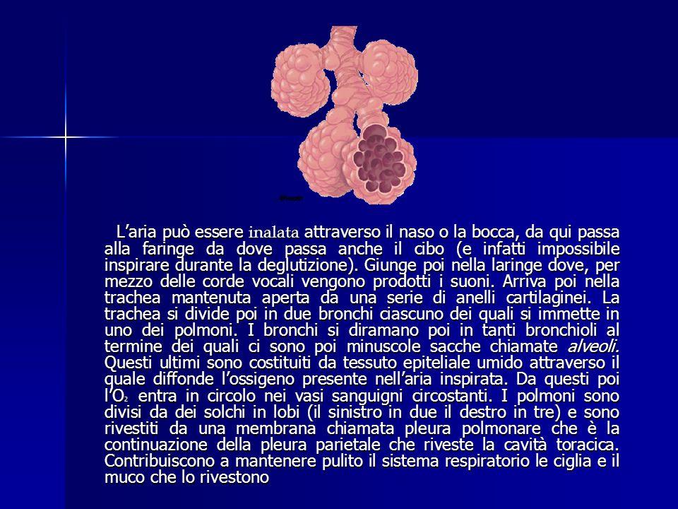 La respirazione avviene in tre fasi Lanimale espone allaria una superficie umida specializzata; in questo modo lO2 disciolto arriva ai polmoni e attra