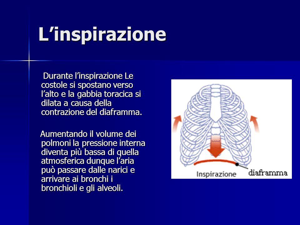 Inspirazione ed espirazione Esaminiamo ora con attenzione i due processi fondamentali alla base della respirazione: Esaminiamo ora con attenzione i du