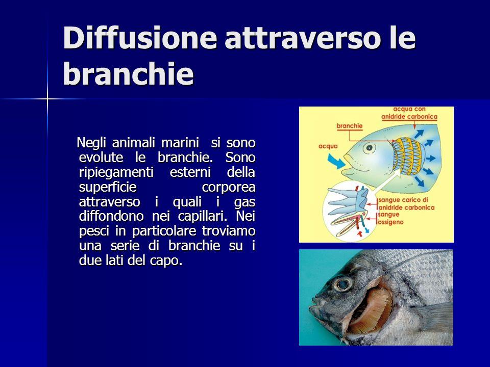 Diffusione attraverso le branchie Negli animali marini si sono evolute le branchie.