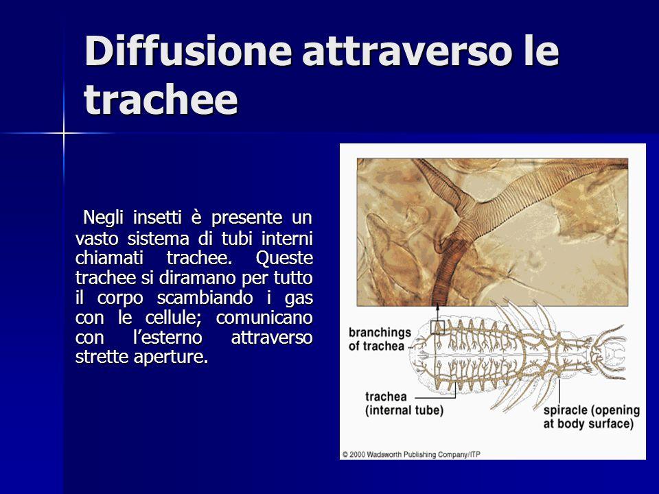 Diffusione attraverso le trachee Negli insetti è presente un vasto sistema di tubi interni chiamati trachee.