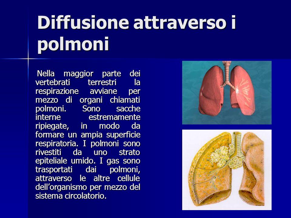 Diffusione attraverso i polmoni Nella maggior parte dei vertebrati terrestri la respirazione avviane per mezzo di organi chiamati polmoni.