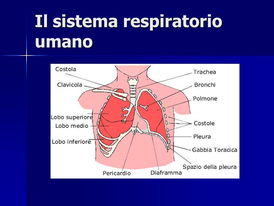 Visione dinsieme sui sistemi di respirazione Esaminiamo ora con più attenzione la respirazione polmonare Esaminiamo ora con più attenzione la respiraz