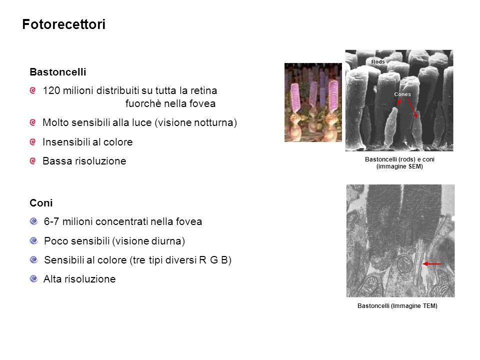 Fotorecettori Bastoncelli (rods) e coni (immagine SEM) Bastoncelli (Immagine TEM) Bastoncelli 120 milioni distribuiti su tutta la retina fuorchè nella