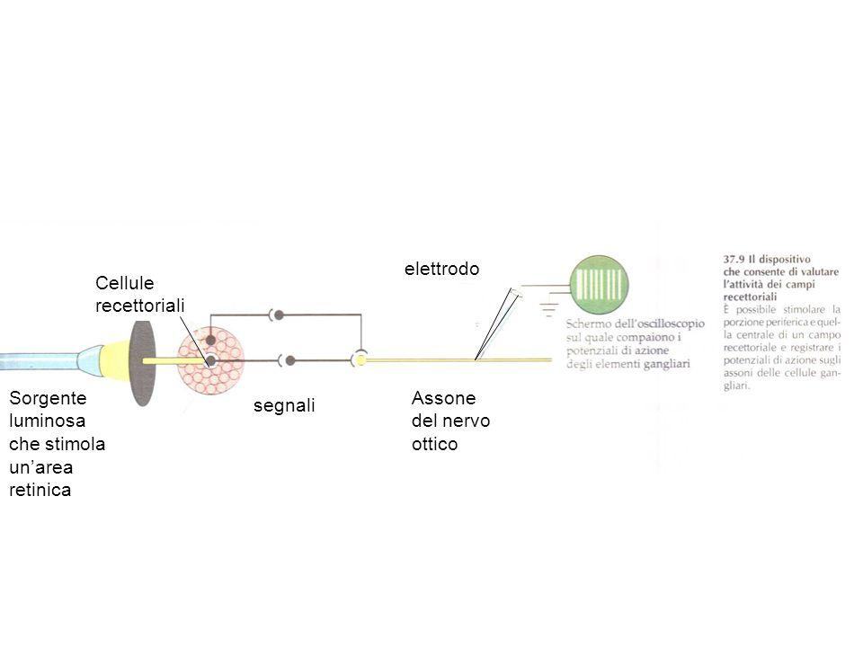 Sorgente luminosa che stimola unarea retinica Cellule recettoriali segnali Assone del nervo ottico elettrodo