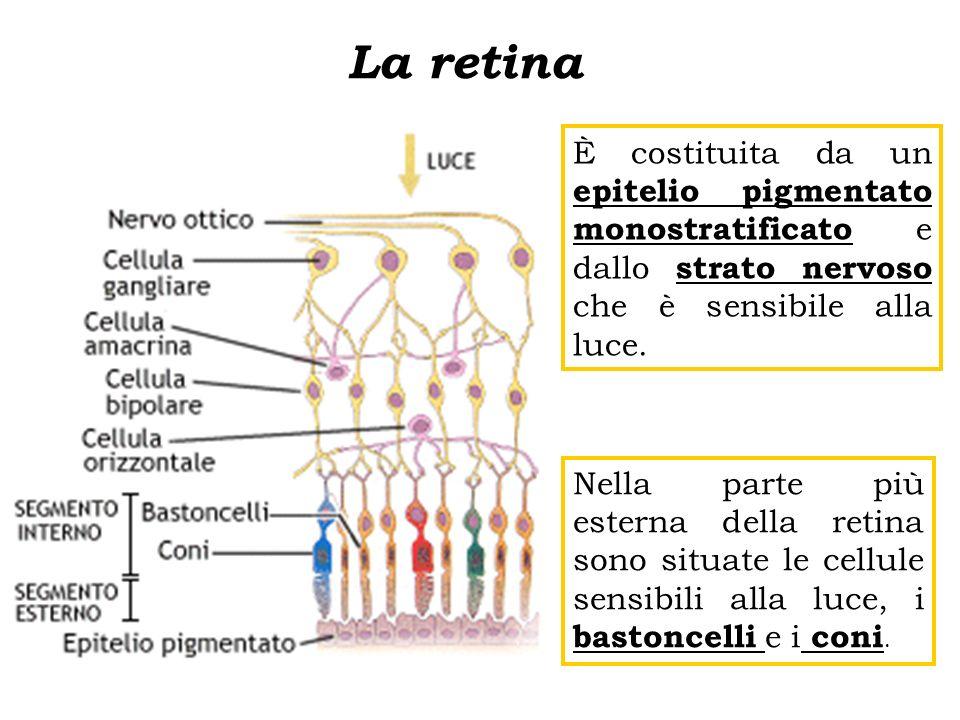 È costituita da un epitelio pigmentato monostratificato e dallo strato nervoso che è sensibile alla luce. Nella parte più esterna della retina sono si