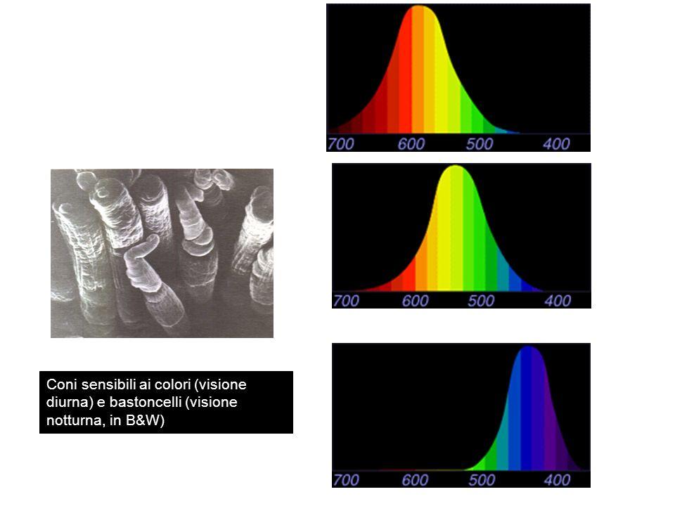 Coni sensibili ai colori (visione diurna) e bastoncelli (visione notturna, in B&W)