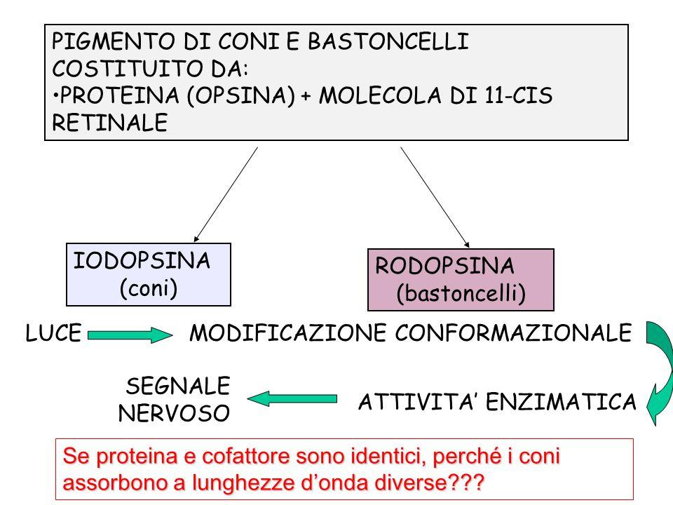 PIGMENTO DI CONI E BASTONCELLI COSTITUITO DA: PROTEINA (OPSINA) + MOLECOLA DI 11-CIS RETINALE IODOPSINA (coni) RODOPSINA (bastoncelli) LUCE MODIFICAZI