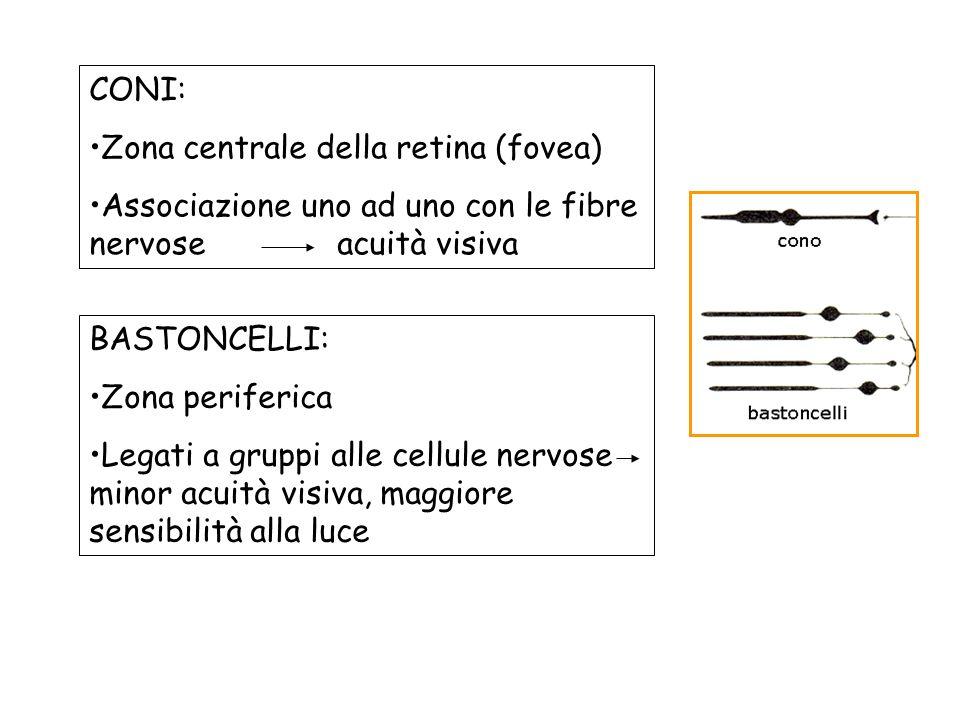 CONI: Zona centrale della retina (fovea) Associazione uno ad uno con le fibre nervose acuità visiva BASTONCELLI: Zona periferica Legati a gruppi alle