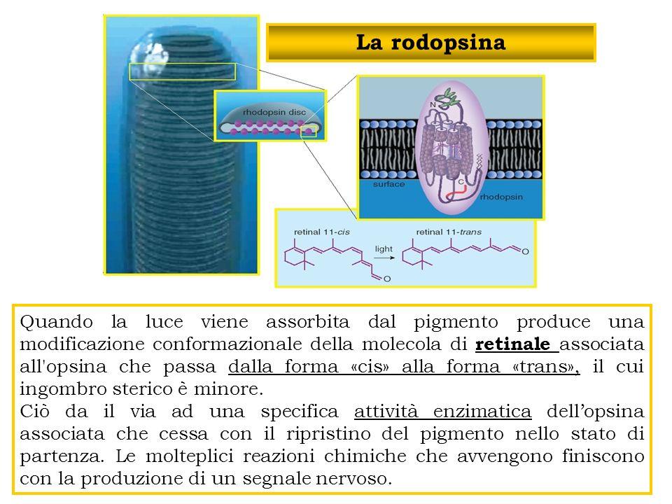 La rodopsina Quando la luce viene assorbita dal pigmento produce una modificazione conformazionale della molecola di retinale associata all'opsina che