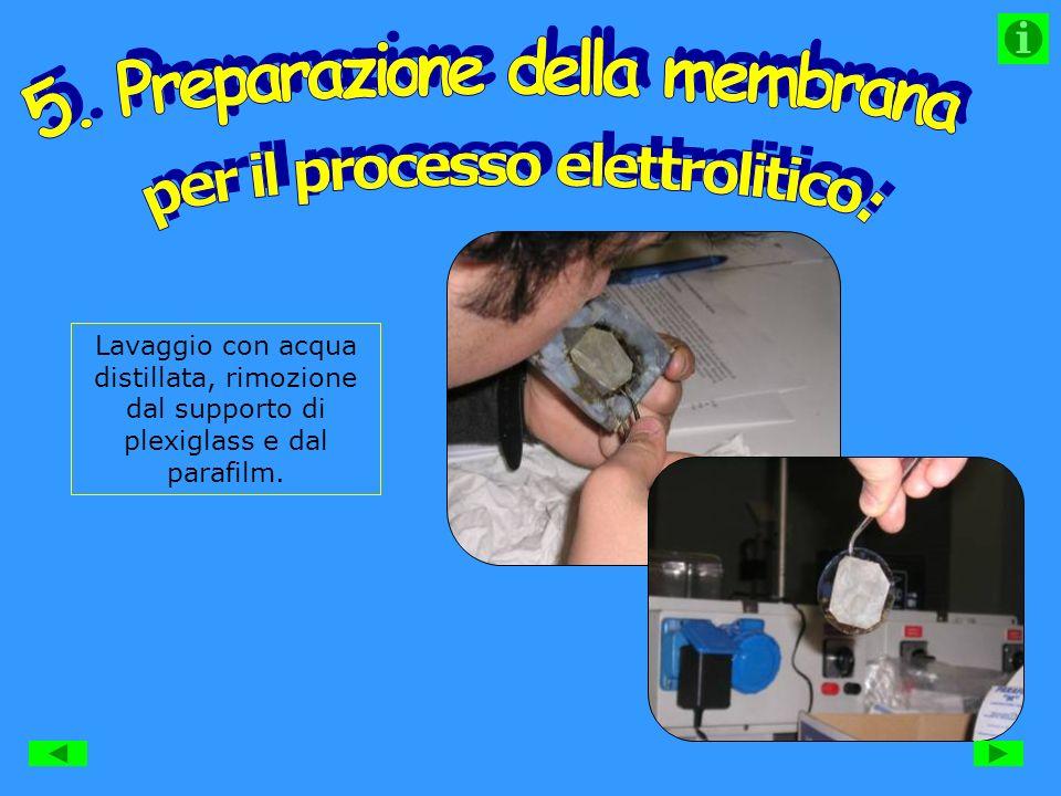Lavaggio con acqua distillata, rimozione dal supporto di plexiglass e dal parafilm.
