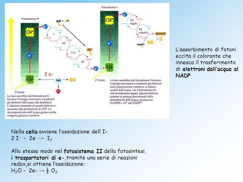 Nella cella avviene lossidazione dell I- 2 I - - 2e I 2 Allo stesso modo nel fotosistema II della fotosintesi, i trasportatori di e-,tramite una serie