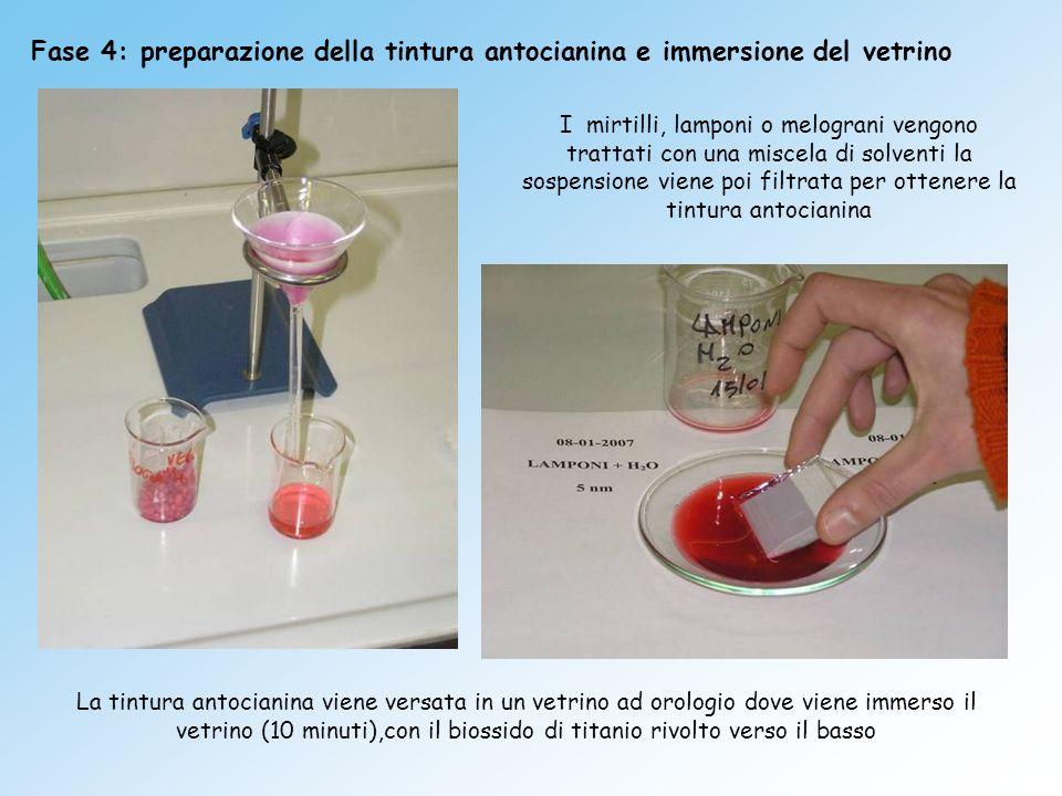 Fase 4: preparazione della tintura antocianina e immersione del vetrino I mirtilli, lamponi o melograni vengono trattati con una miscela di solventi l