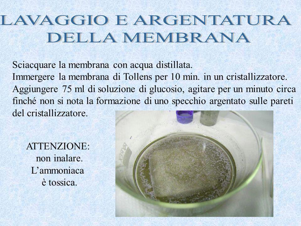 Sciacquare la membrana con acqua distillata. Immergere la membrana di Tollens per 10 min. in un cristallizzatore. Aggiungere 75 ml di soluzione di glu