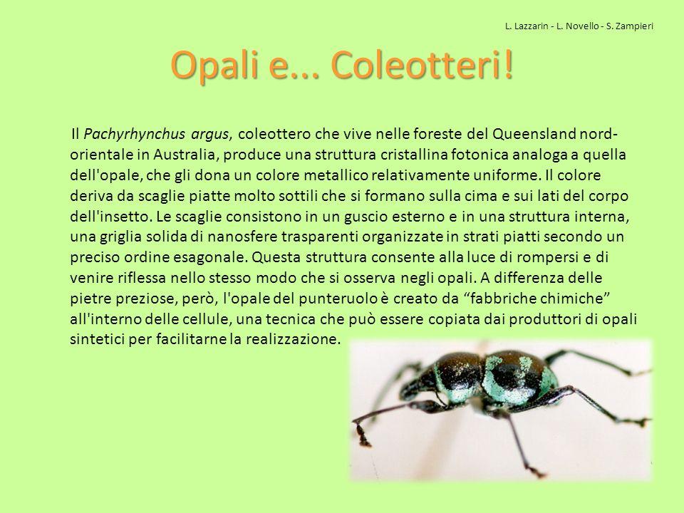Opali e... Coleotteri! Il Pachyrhynchus argus, coleottero che vive nelle foreste del Queensland nord- orientale in Australia, produce una struttura cr