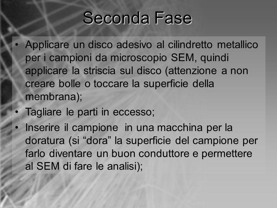 Applicare un disco adesivo al cilindretto metallico per i campioni da microscopio SEM, quindi applicare la striscia sul disco (attenzione a non creare