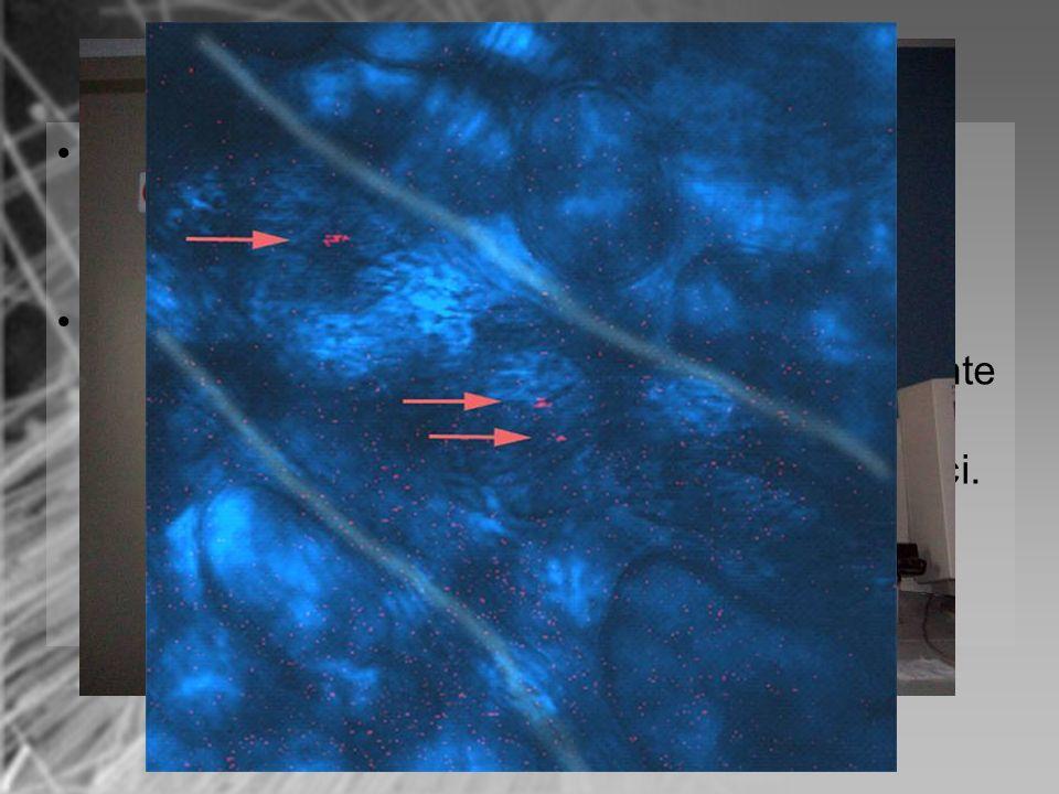 Inserire il campione dorato nel microscopio e iniziare lanalisi. I puntini evidenziati in rosso e indicati dalle freccie sono i nanofilamenti di niche
