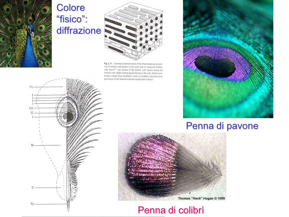 Penna di colibrì Penna di pavone Colorefisico:diffrazione