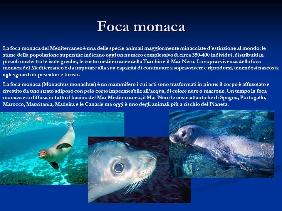 Foca monaca La foca monaca del Mediterraneo è una delle specie animali maggiormente minacciate d'estinzione al mondo: le stime della popolazione super