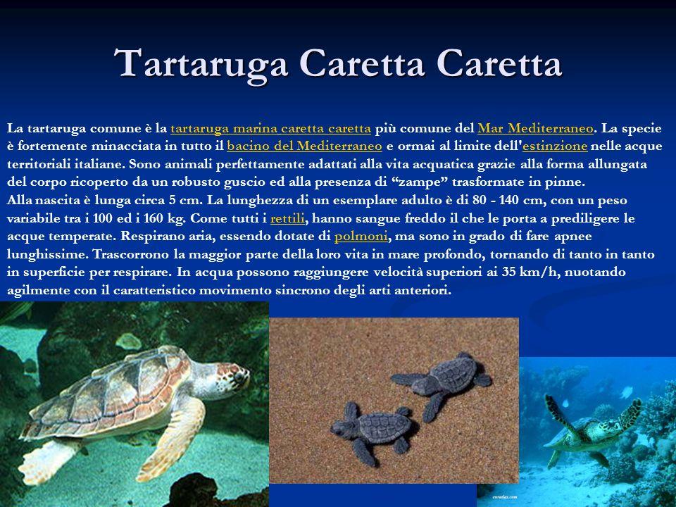 Tartaruga Caretta Caretta La tartaruga comune è la tartaruga marina caretta caretta più comune del Mar Mediterraneo. La specie è fortemente minacciata