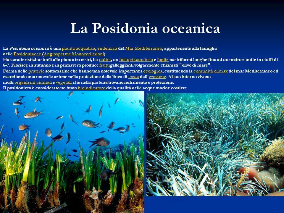 La Posidonia oceanica La Posidonia oceanica è una pianta acquatica, endemica del Mar Mediterraneo, appartenente alla famiglia delle Posidoniacee (Angi