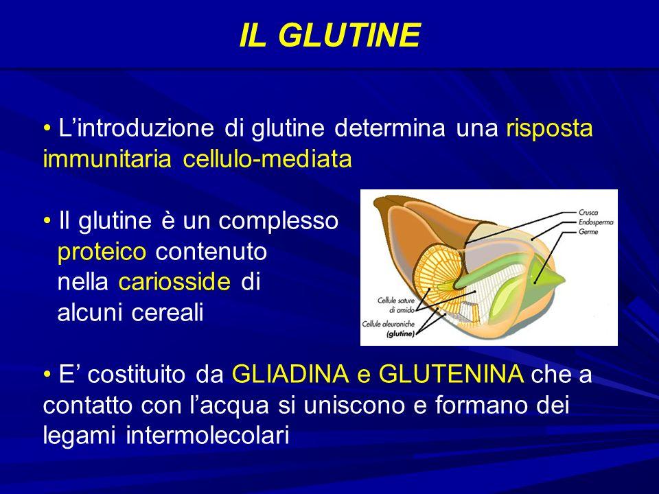 IL GLUTINE Lintroduzione di glutine determina una risposta immunitaria cellulo-mediata Il glutine è un complesso proteico contenuto nella cariosside di alcuni cereali E costituito da GLIADINA e GLUTENINA che a contatto con lacqua si uniscono e formano dei legami intermolecolari