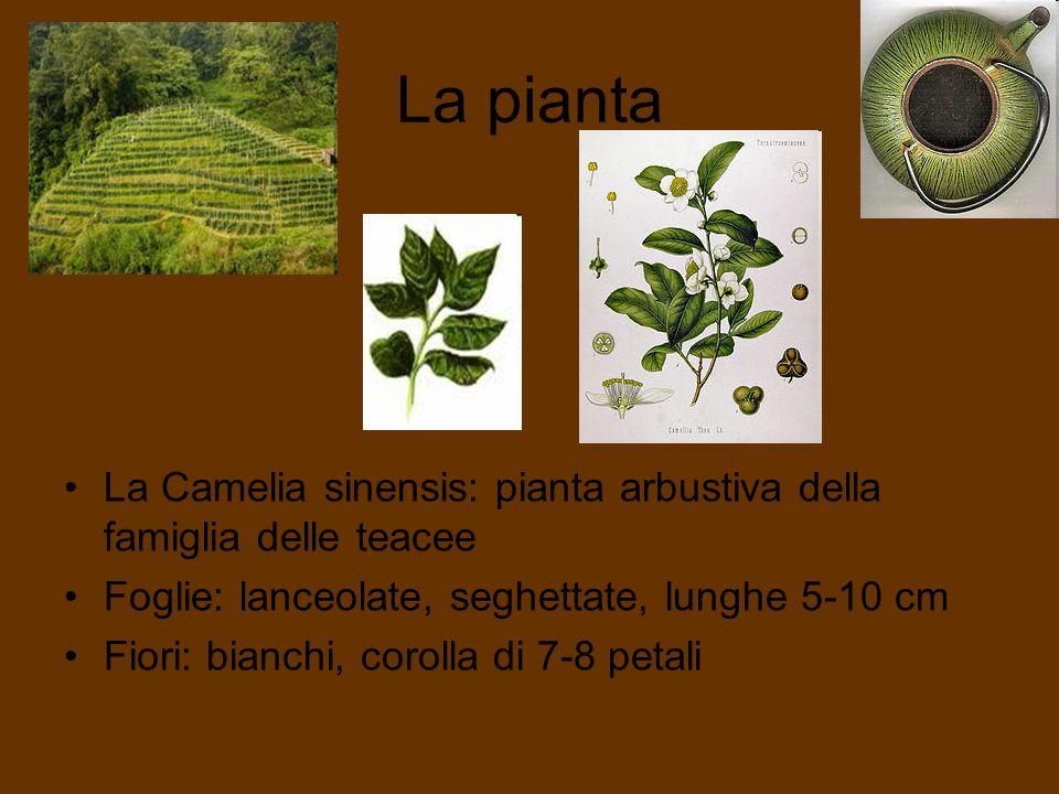 La pianta La Camelia sinensis: pianta arbustiva della famiglia delle teacee Foglie: lanceolate, seghettate, lunghe 5-10 cm Fiori: bianchi, corolla di