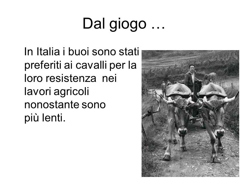 Dal giogo … In Italia i buoi sono stati preferiti ai cavalli per la loro resistenza nei lavori agricoli nonostante sono più lenti.