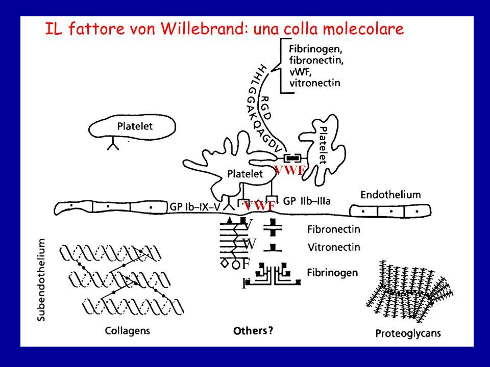 VWFFVWFF VWF IL fattore von Willebrand: una colla molecolare