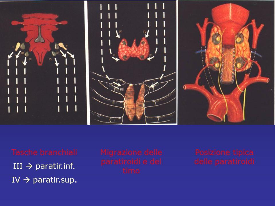 Tasche branchiali III paratir.inf. IV paratir.sup. Migrazione delle paratiroidi e del timo Posizione tipica delle paratiroidi