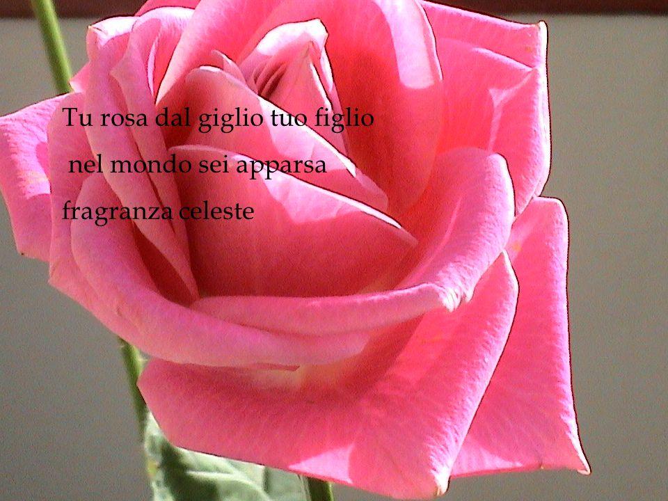 Tu rosa dal giglio tuo figlio nel mondo sei apparsa fragranza celeste
