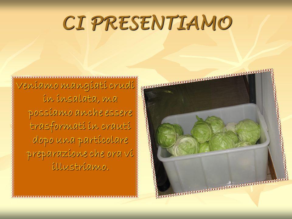 CI PRESENTIAMO Veniamo mangiati crudi in insalata, ma possiamo anche essere trasformati in crauti dopo una particolare preparazione che ora vi illustr