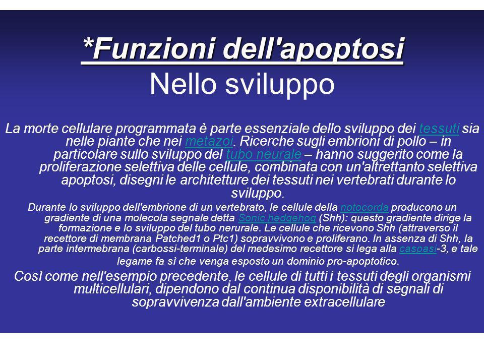 *Funzioni dell apoptosi *Funzioni dell apoptosi Nello sviluppo La morte cellulare programmata è parte essenziale dello sviluppo dei tessuti sia nelle piante che nei metazoi.