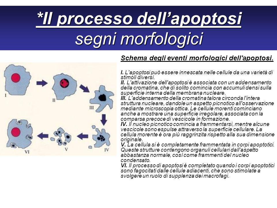 *Il processo dellapoptosi segni morfologici Schema degli eventi morfologici dell apoptosi.
