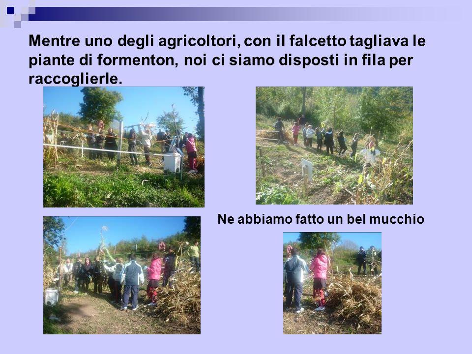 Mentre uno degli agricoltori, con il falcetto tagliava le piante di formenton, noi ci siamo disposti in fila per raccoglierle. Ne abbiamo fatto un bel