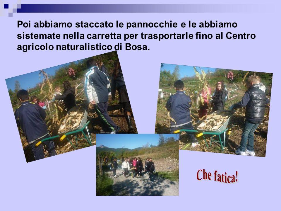 Poi abbiamo staccato le pannocchie e le abbiamo sistemate nella carretta per trasportarle fino al Centro agricolo naturalistico di Bosa.