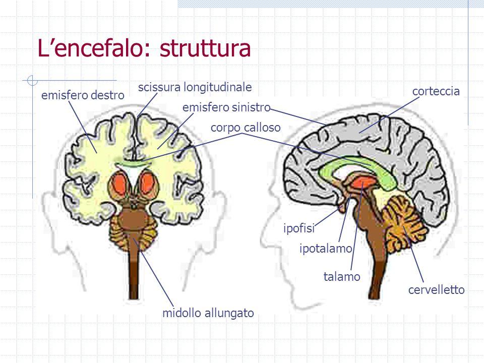 Lencefalo: struttura corpo calloso scissura longitudinale cervelletto talamo midollo allungato emisfero destro ipotalamo ipofisi corteccia emisfero si