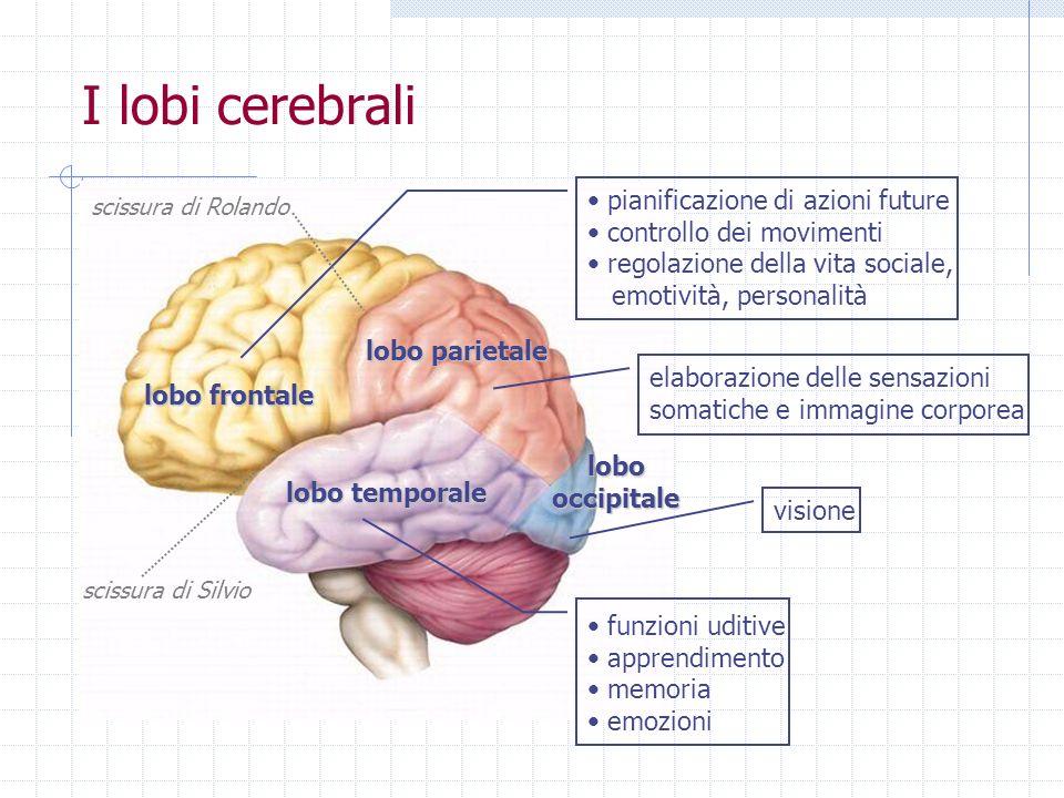 I lobi cerebrali pianificazione di azioni future controllo dei movimenti regolazione della vita sociale, emotività, personalità lobo parietale lobo te