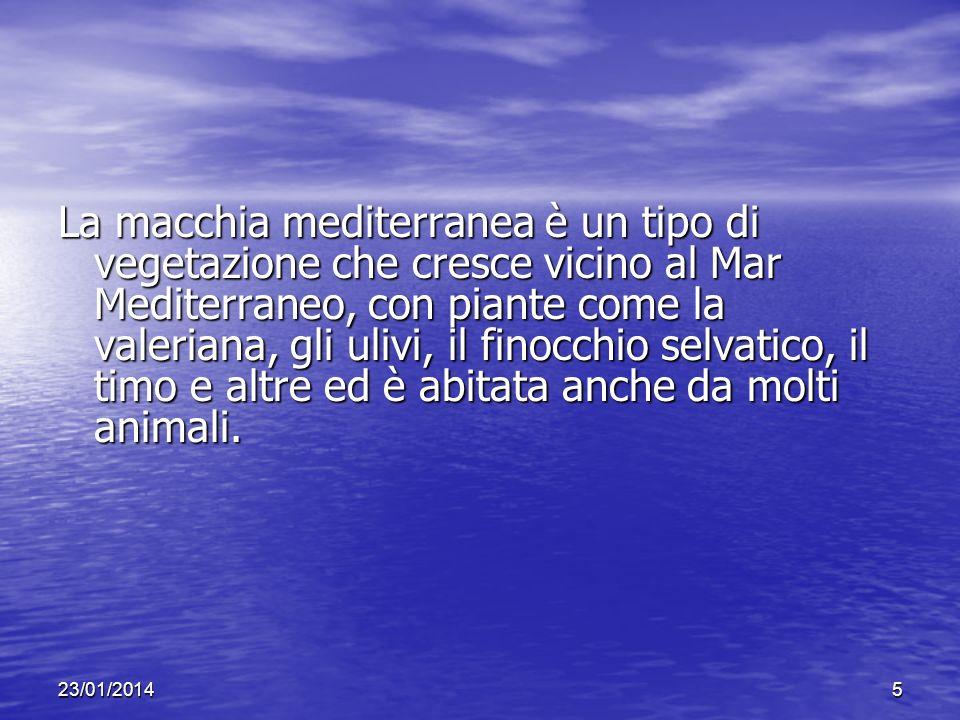 23/01/20145 La macchia mediterranea è un tipo di vegetazione che cresce vicino al Mar Mediterraneo, con piante come la valeriana, gli ulivi, il finocchio selvatico, il timo e altre ed è abitata anche da molti animali.